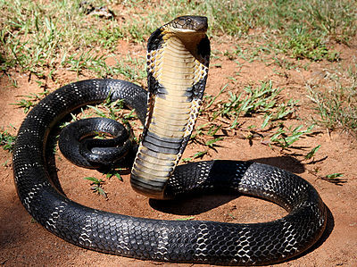 400px-12_-_The_Mystical_King_Cobra_and_Coffee_Forests