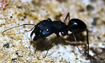 little-black-ants